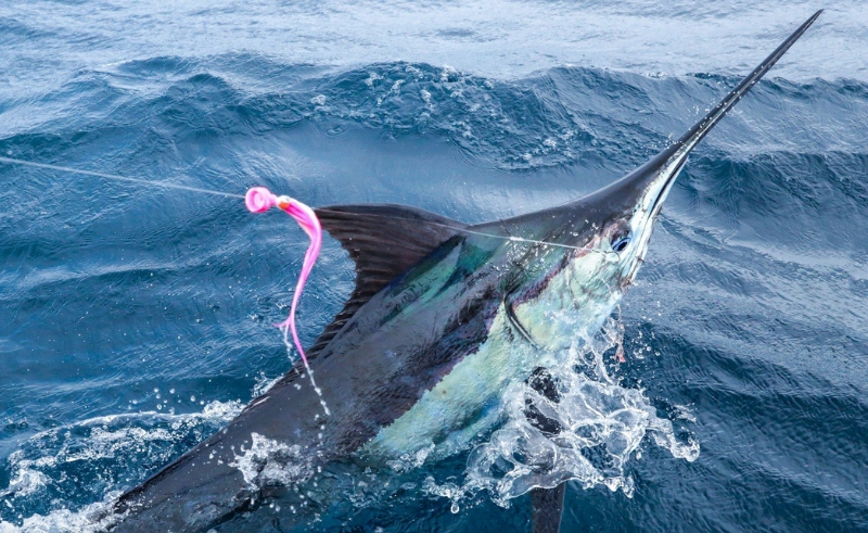 swordfish line sea