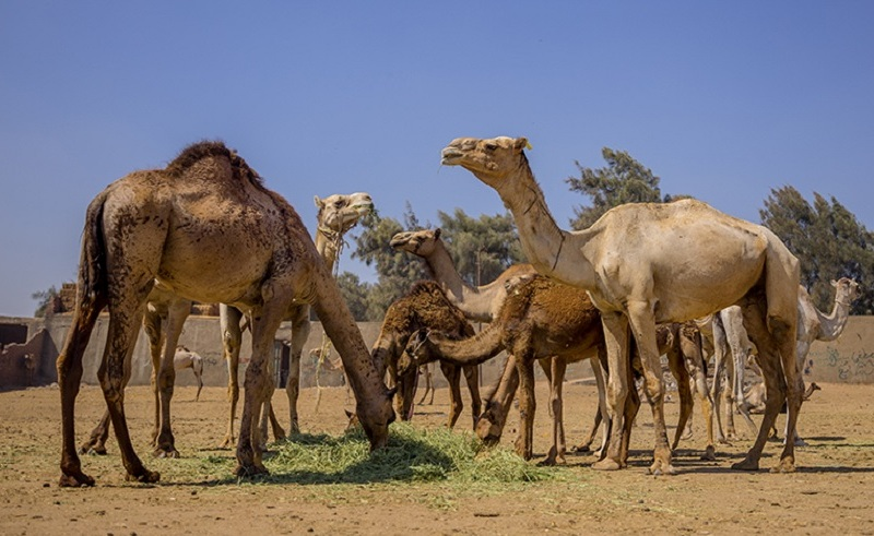 3 Egyptian Merchants Arrested Over Animal Abuse at Cairo's Birqash Camel Market