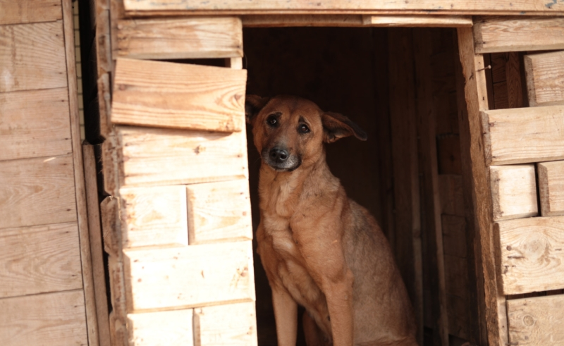balady dog