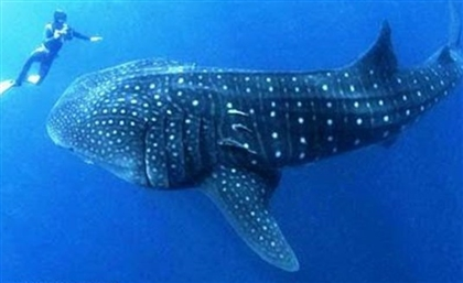 Rare Whale Shark Spotted Taking A Swim Off the Coast Of Hurghada