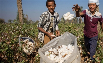Ministry of Agriculture to Produce Organic Pesticide-Free Cotton