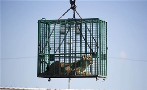 Four Paws Save Three Lions From Gaza Zoo