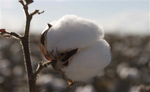 Egypt Bans Cotton Imports, Panic Ensues