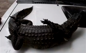 Wild Nile Crocodile Arrested In Giza