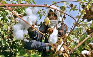 Egyptian Cotton Industry Witnesses a 77% Hike in Exports