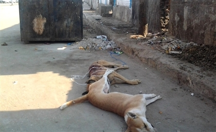 Egyptian Woman Poisoned after Trying to Save Stray Dogs from Poison