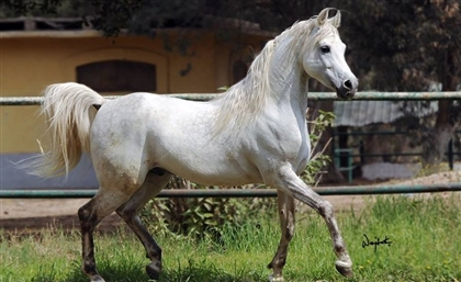 Egypt's most Prized $10 Million Arabian Horse Passes Away