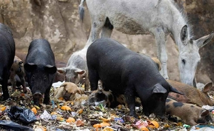 Cairo's Pig Population to Recover to 2 Million in 2018