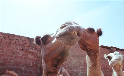 We Went Grazing through Cairo's Only Camel Market