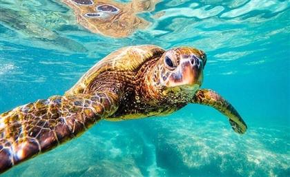The Group Saving Egypt's Endangered Turtles