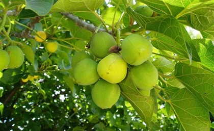 Egypt Allocates Massive Farmland to Growing Jatropha Curcas and Jojoba
