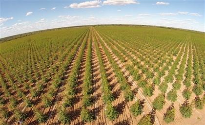 Egypt to Grow Tree Farms on 6000 Feddans in Minya