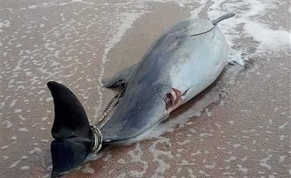 Another Dead Dolphin Has Been Found Washed-Up on an Alexandrian Beach
