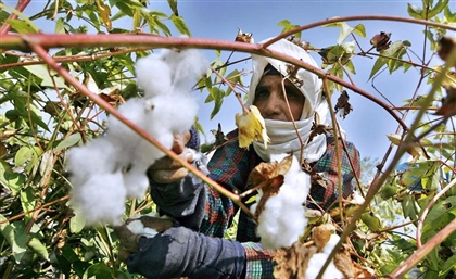 Egypt's Cotton Exports Increase by 218.8% in Third Quarter of Agricultural Year