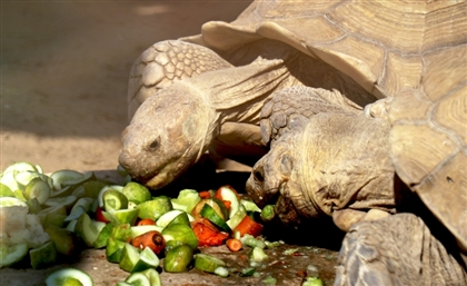 40 smuggled tortoises rescued at Egypt-Sudan border