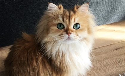 Global Cat Pageant Happening in Cairo This Month
