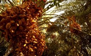 Nawaya's Date Palm Festival