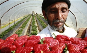 Egypt's Strawberry Export Woes Continue: Is Social Media to Blame?