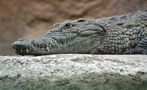 Egypt's Plan to Export Crocodiles for Dollars