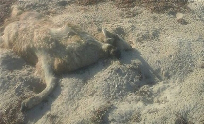 Dead Sheep Are Washing Up On Egypt's Red Sea Shores