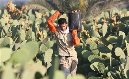 Egyptian Photographer Captures the Life of Prickly Pear Harvesters in 8 Stunning Photos