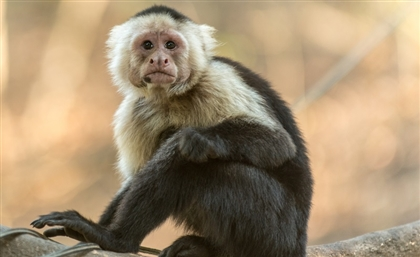 Army of Monkeys Invades Suez