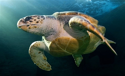 Turtlenapped Sea Turtles Rescued by Ministry of Environment