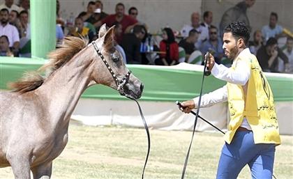 Arabian Horse Festival Trots Into Sharqia on September 30th