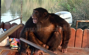 Chimp Escapes Zoo, People Jump into Crocodile Infested Nile