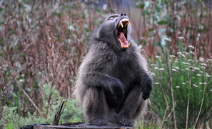 Starved Baboons at Egyptian Zoo Resort to Cannibalism