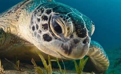Egypt Launches National Plan to Stop the Slaughtering of Sea Turtles
